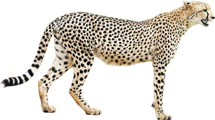 Cheetah-standing
