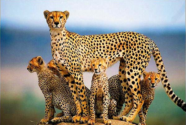 cheetah-family