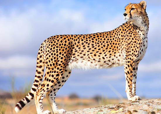 cheetah information facts science4fun
