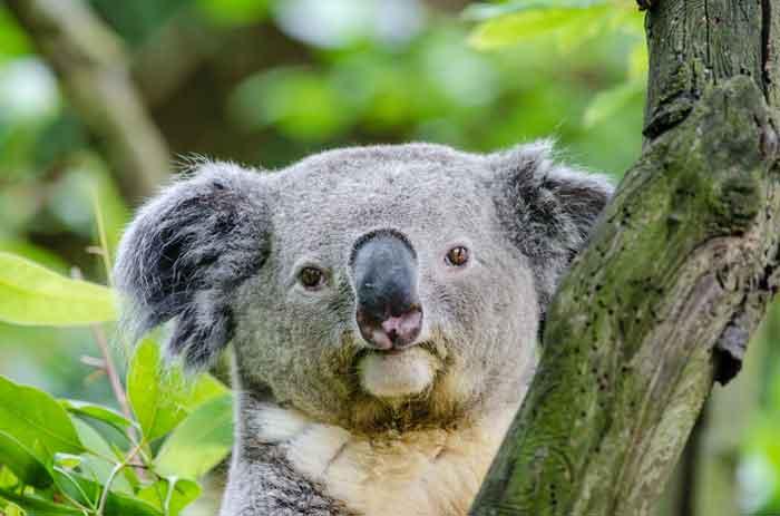 cure-koala
