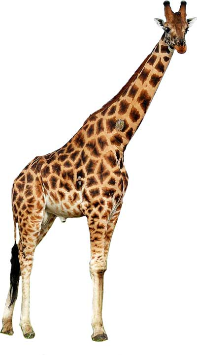 giraffe-standing