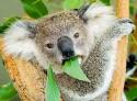 koala-eating