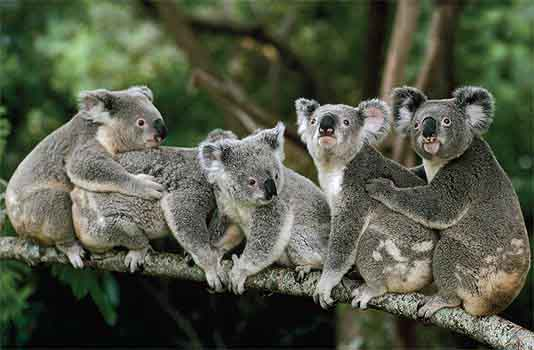 Koala-family