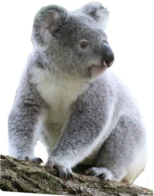 koala-on-tree-branch