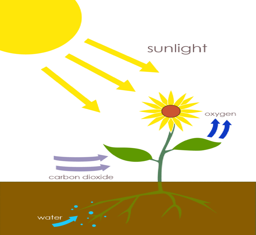 Photosynthesis Infomation Facts Science4fun
