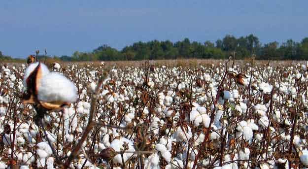 short-staple-cotton-crop