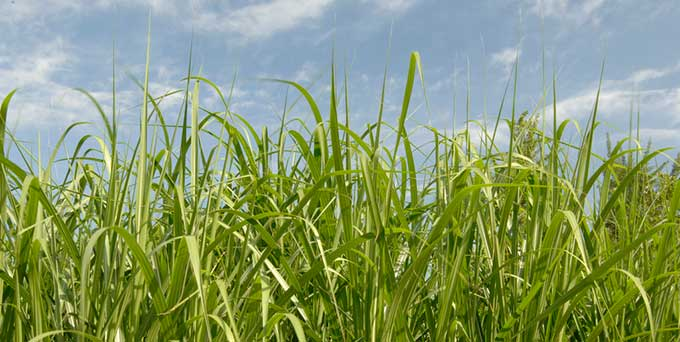 biomass-energy-crops