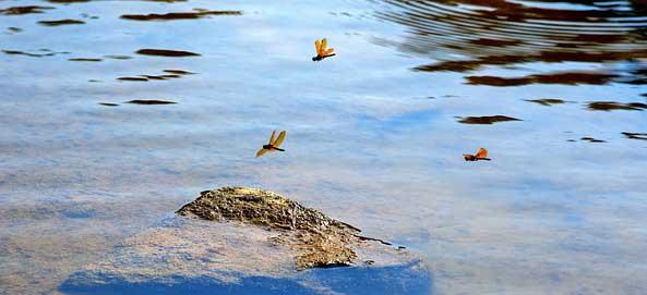 dragonfly-habitat