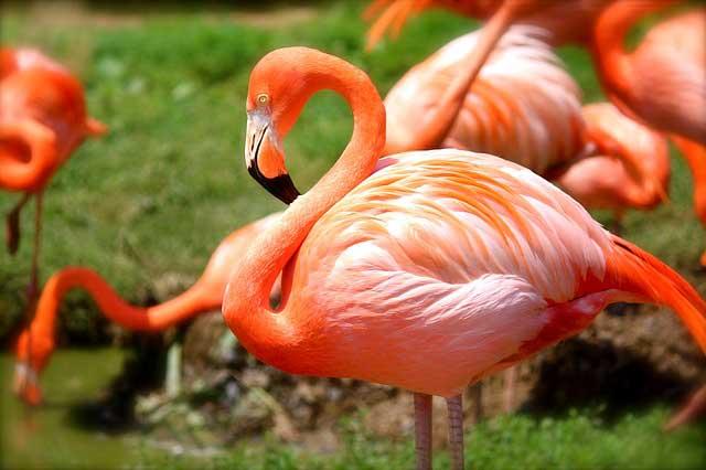Flamingo-standing