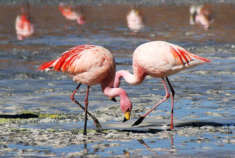 Flamingos-in-water