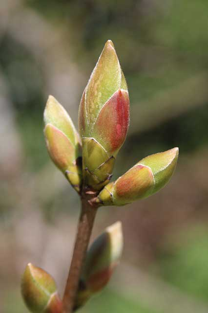 bud-of-a-plant