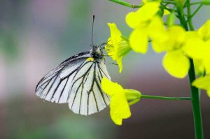 butterfly-eating-nectar
