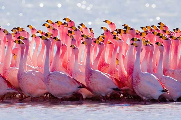 flock-of-flamingo