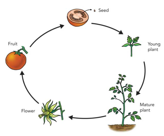 Life Cycle of Plants - (Information + Fun Facts) - Science4Fun