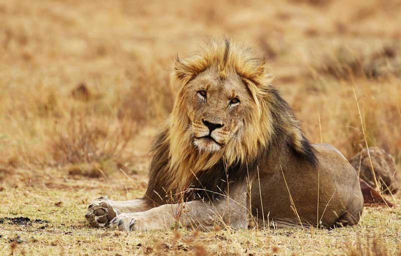 lion-on-the-dry-grass