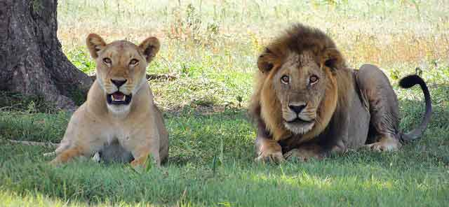 male-and-female-lion
