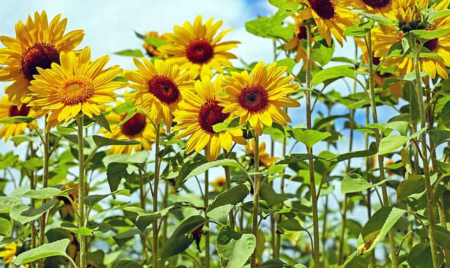 mature-sunflower-plants
