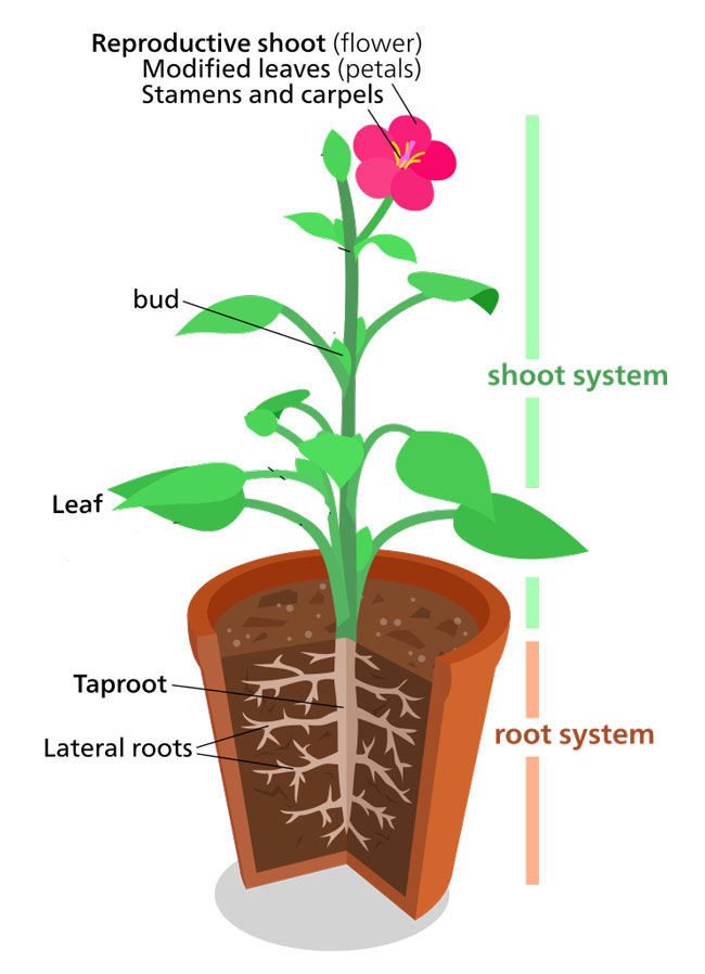 Plant Structure -  Information   Fun Facts