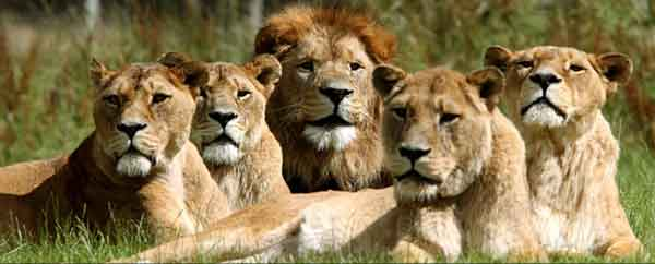 pride-of-lions