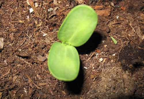 sunflower-seedling