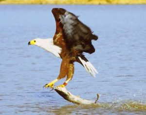 bald-eagle-catching-food