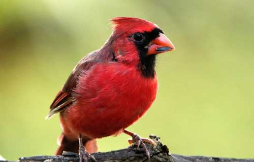 cardinal-eating-sunflower-seed