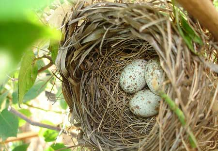cardinal-nest-with-eggs