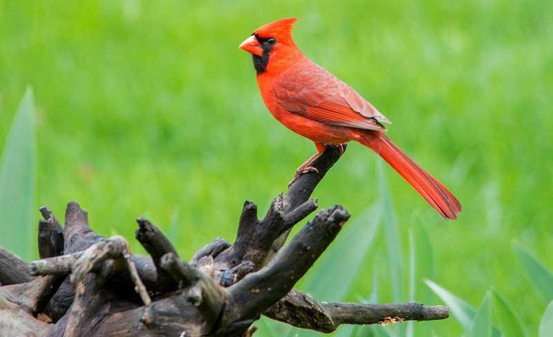 cardinal-sitting-on-trunk