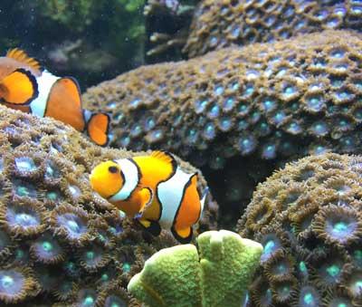 Clownfish: (Facts + Diet + Habitat) - Science4Fun