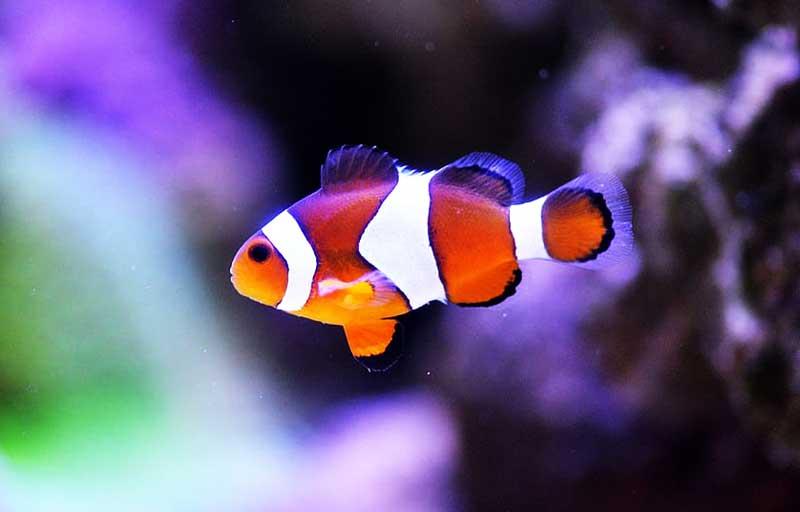 clownfish-in-aquarium