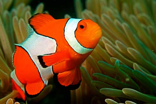 clownfish-with-anemone