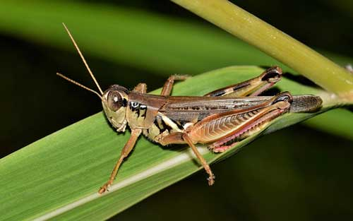 grasshopper-sitting-on-grass