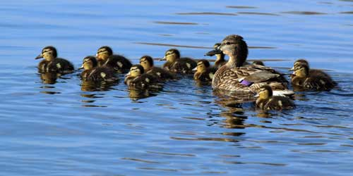 mallard-duck-with-its-chicks