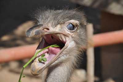 ostrich-eating-herbs