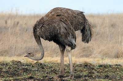 ostrich-hiding-head