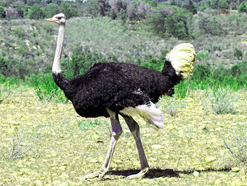 ostrich-male