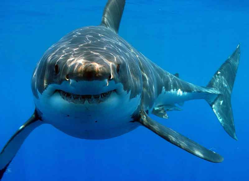 the-great-white-shark