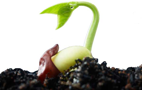 Image result for seed germinating