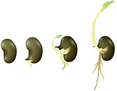 germination-process