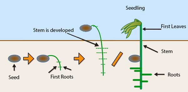 seed-to-seedling