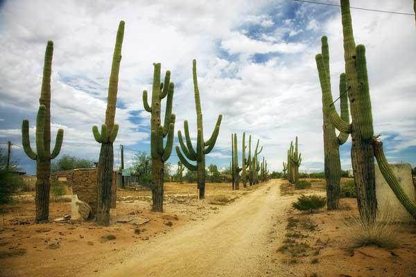 cactus-in-desert