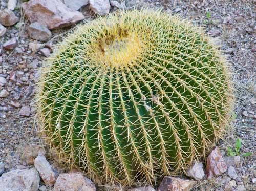 round-cactus-plant