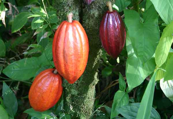 cacao-tree-with-pods