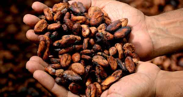 cocoa-beans-on-hands