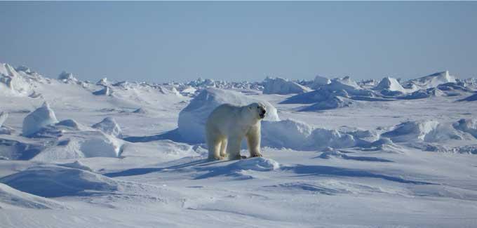 bear-on-glacier