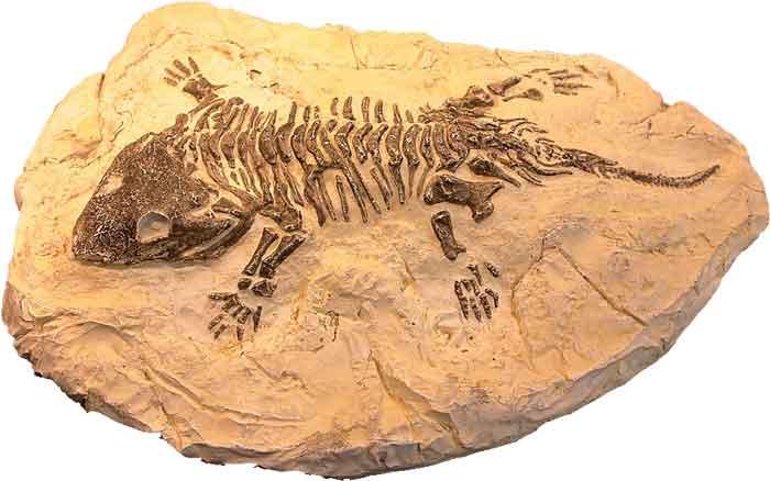 Seymouria-Fossil