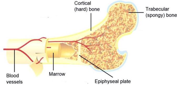 bone-composition