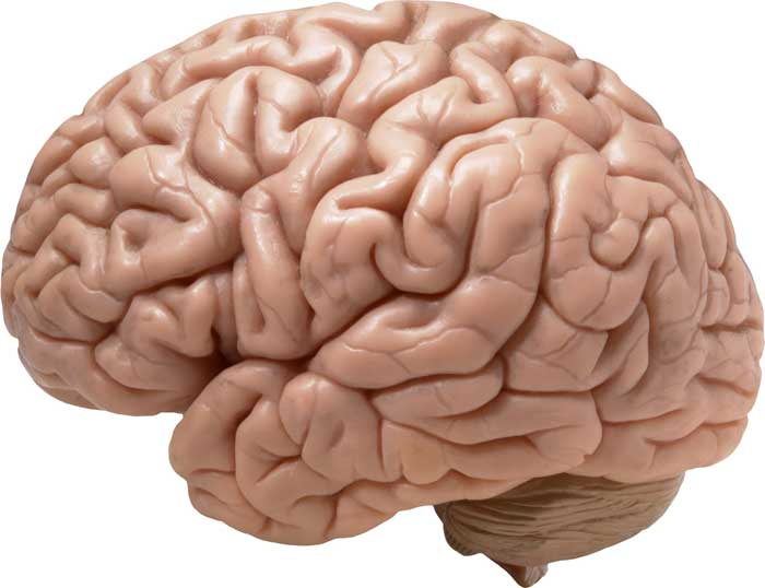 Human Brain - (Functioning, Parts, Memory, and Facts