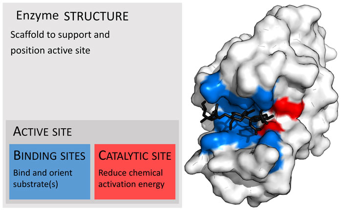 enzyme-structure