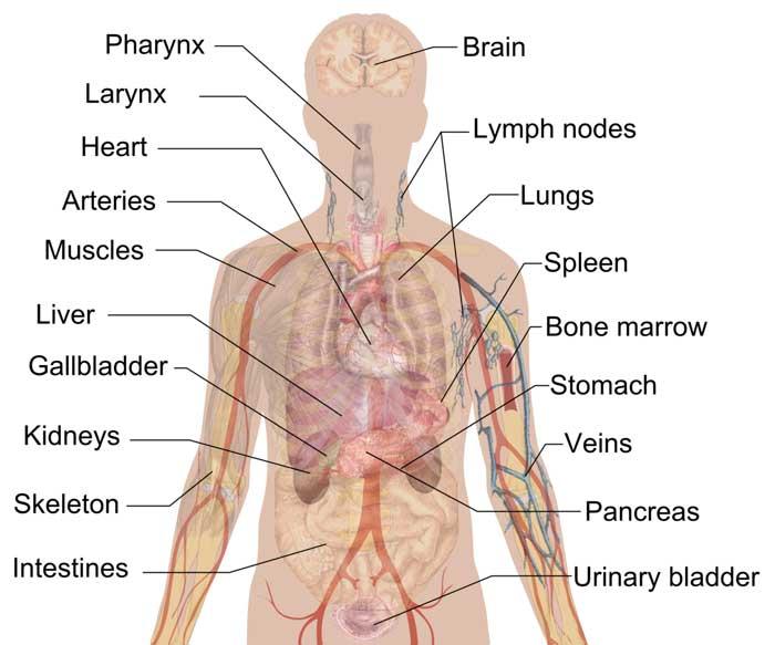 human-body-organs